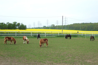 Unsere Ponys auf der täglichen Weide